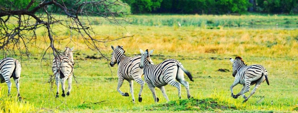 Zebras im Okavangodelta in Botswana