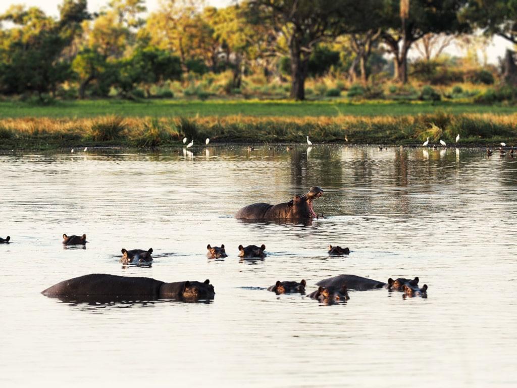 Nilpferde baden im Okavango-Delta