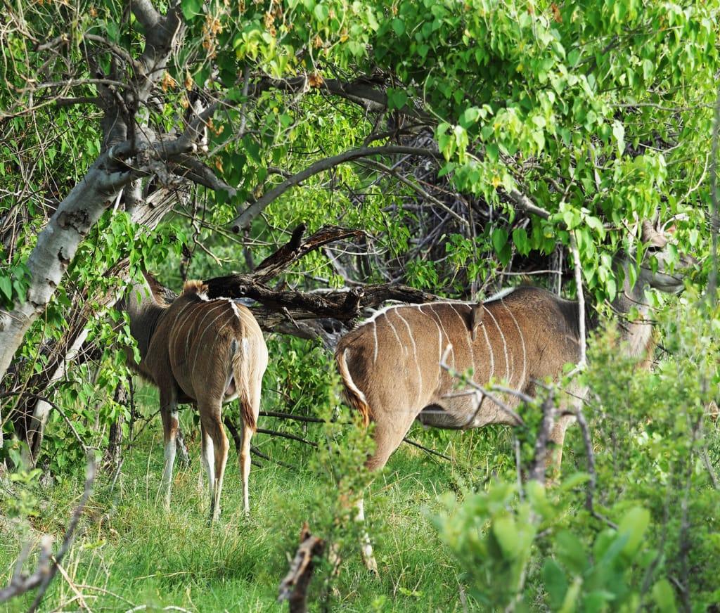 Busch in Botswana
