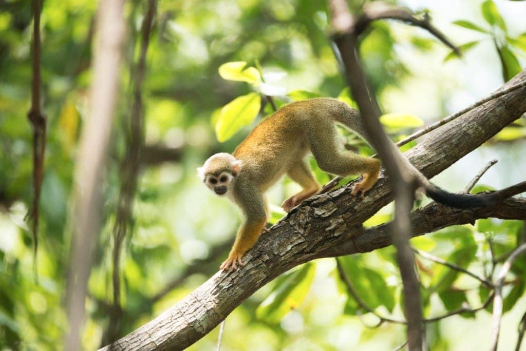 Affe im Dschungel von Surinam