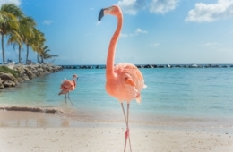 Flamingo am Flamingo Beach auf Aruba
