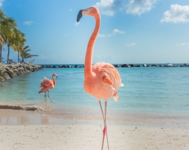 Flamingo am Flamingo Beach auf Aruba