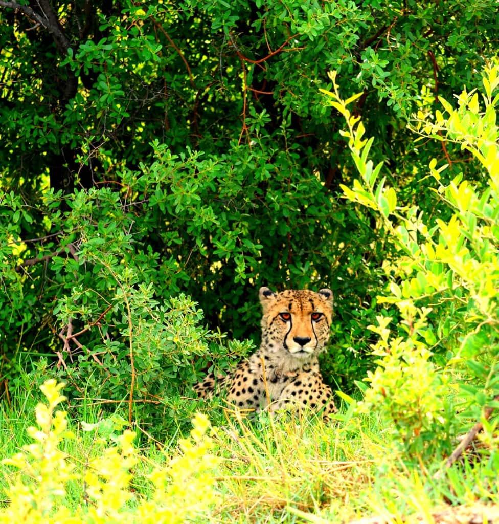 gepard in Botswana