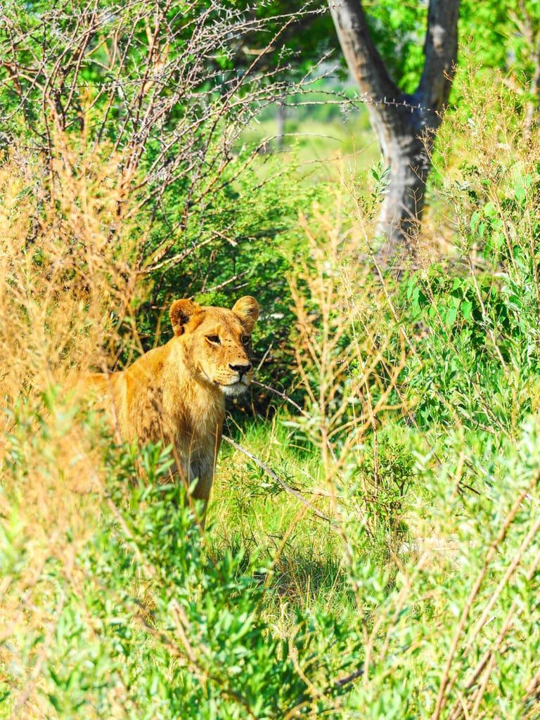 Kleiner Löwe versteckt sich hinter Busch in Botswana