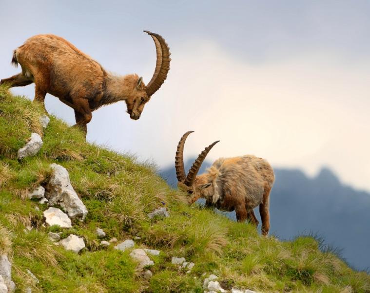 Steinböcke in österreichischen Alpen