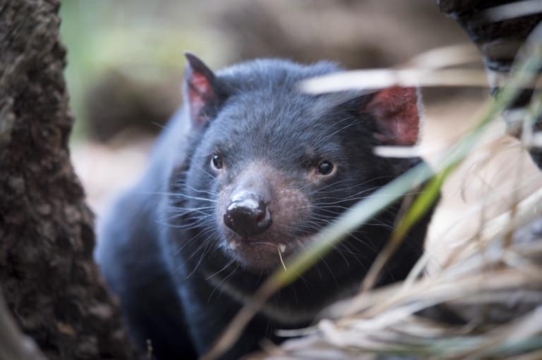 Der Tansanische Teufel lebt nur auf Tasmanien.