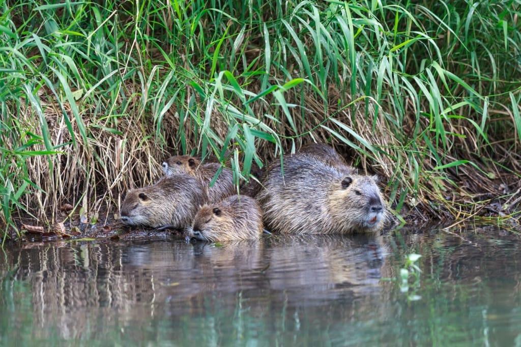 Biber-Familie im Wasser