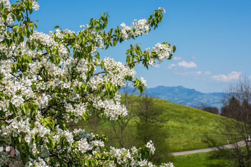 Die Apfelblüte in der Schweiz ist ein Traum - auch am Feusisberg, wo ein tolles Infinity-Pool-Hotel in den Alpen wartet.