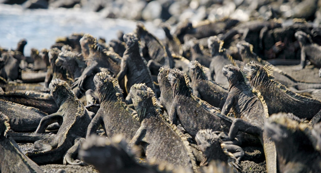 Meerechsen auf den Galapagos-Inseln