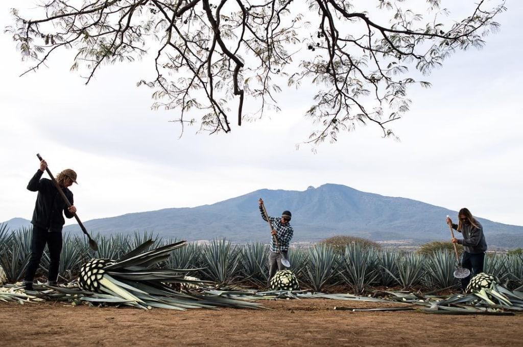 Agaven-Arbeiter auf Feld in Mexiko