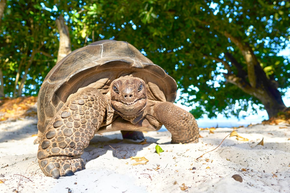 Inseln der Seychellen: Riesenschildkröte