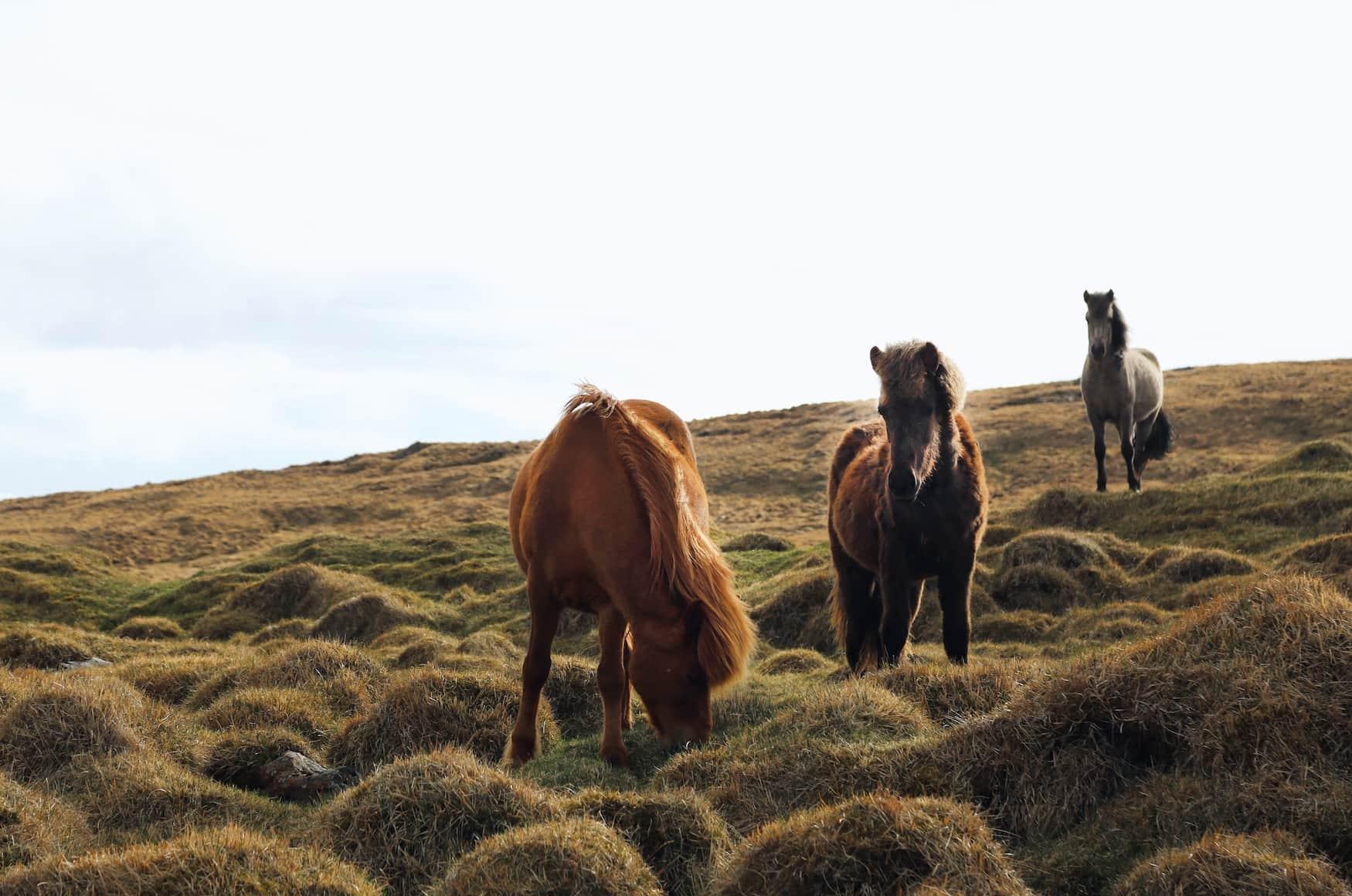 Pferde grasen in isländischer Natur