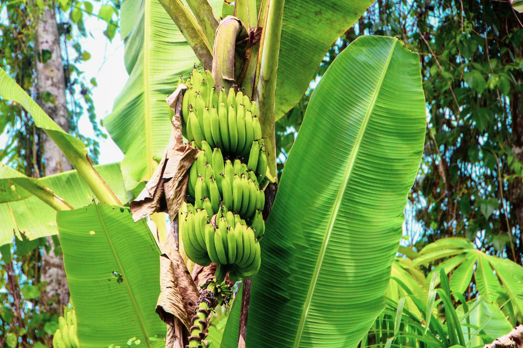 Bananenstaude in Costa Rica