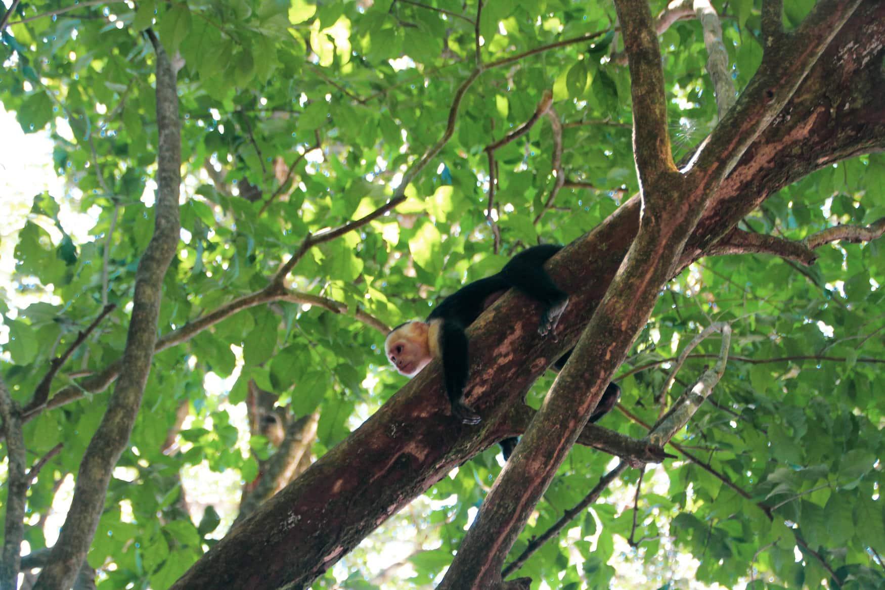Affe auf Baum in Nationalpark in Costa Rica