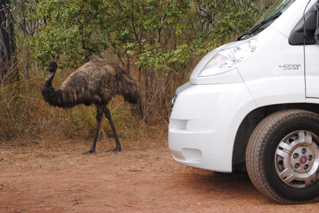 Kasuar im Nordosten Queenslands