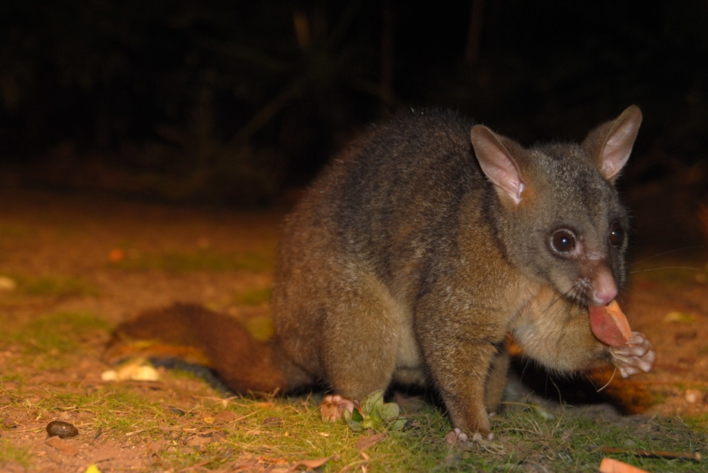 Opossum in Queensland