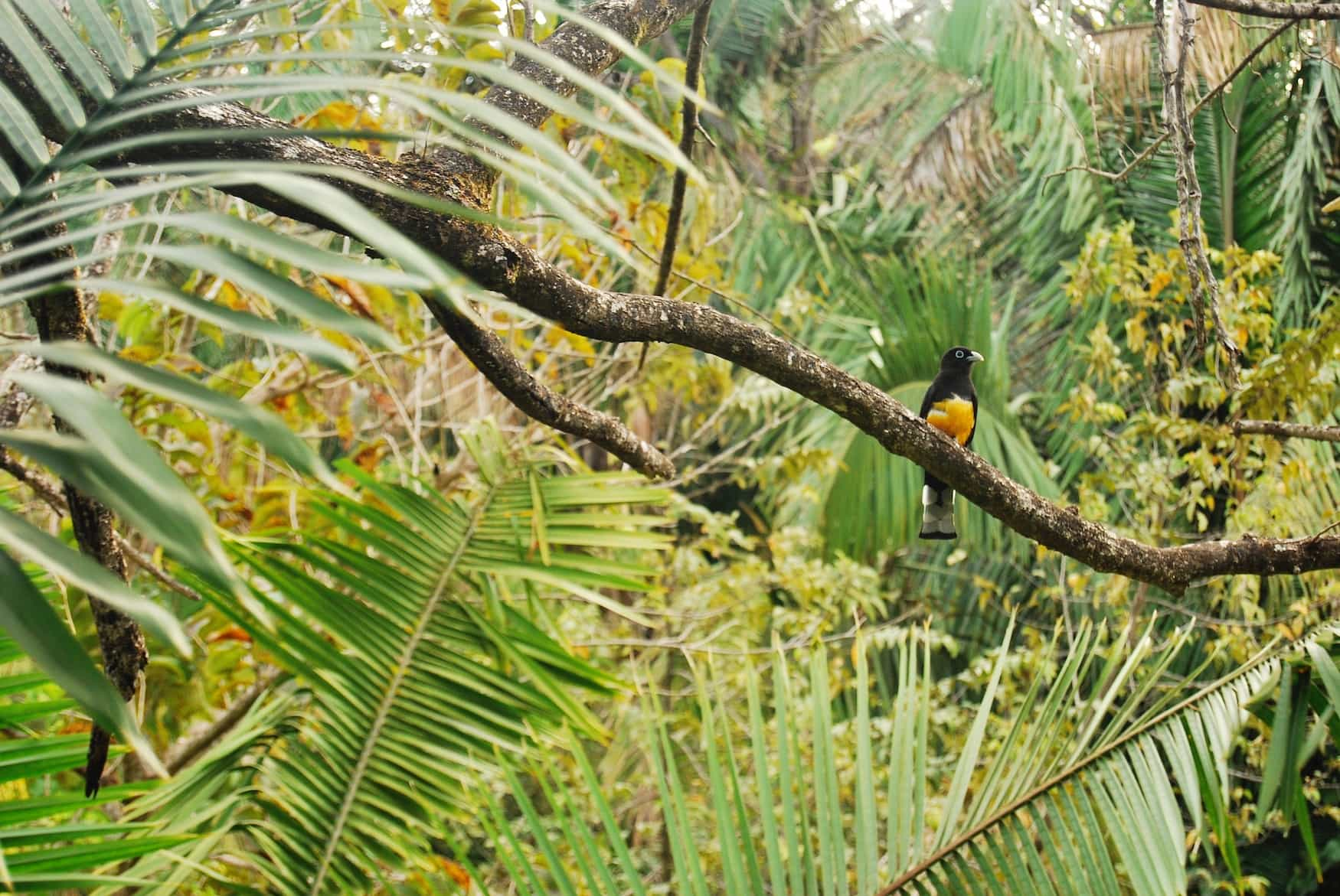 Bunter Vogel auf Ast in Costa Rica