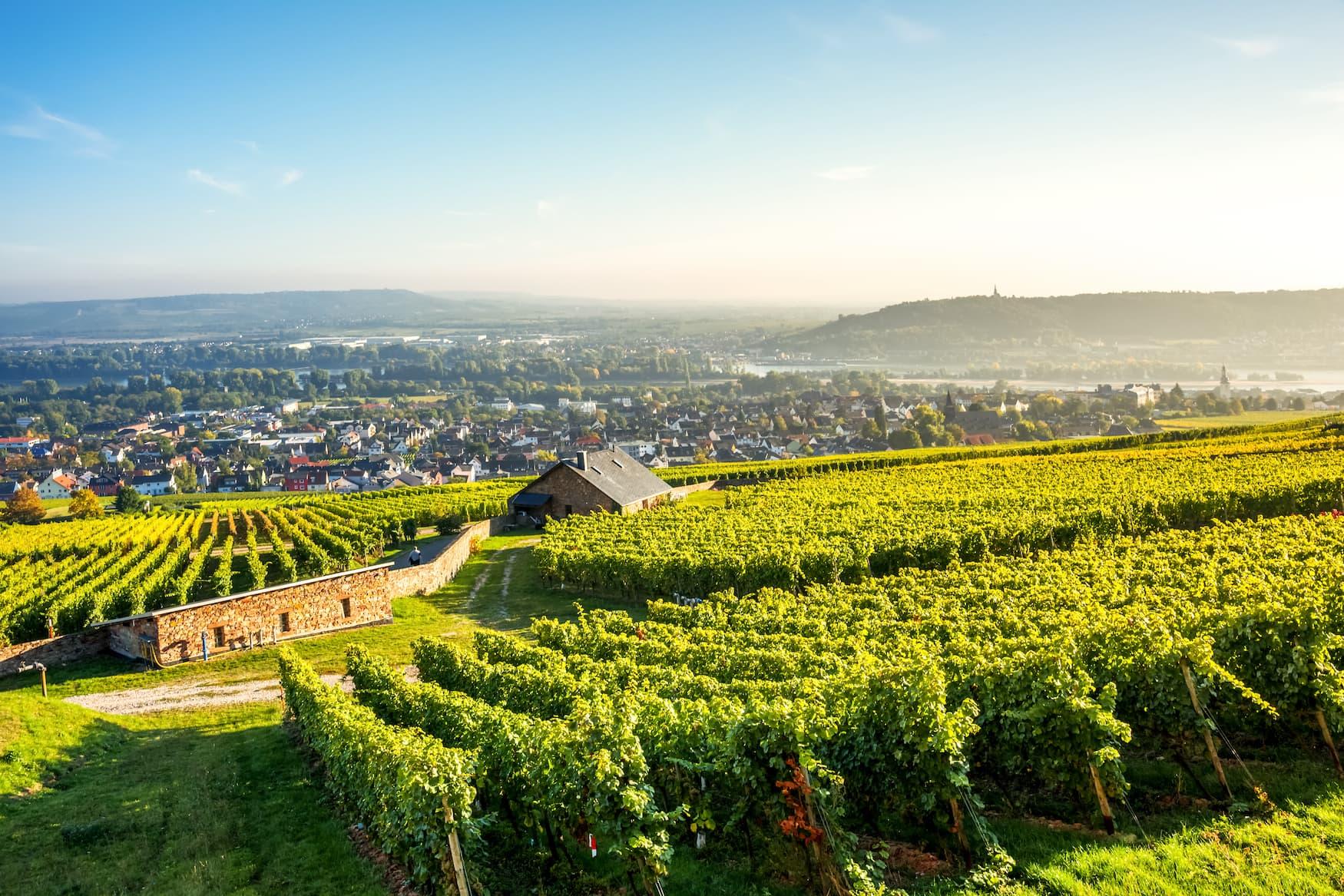 Weinfelder im Rheingau