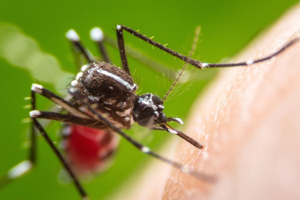 Mücke auf Haut