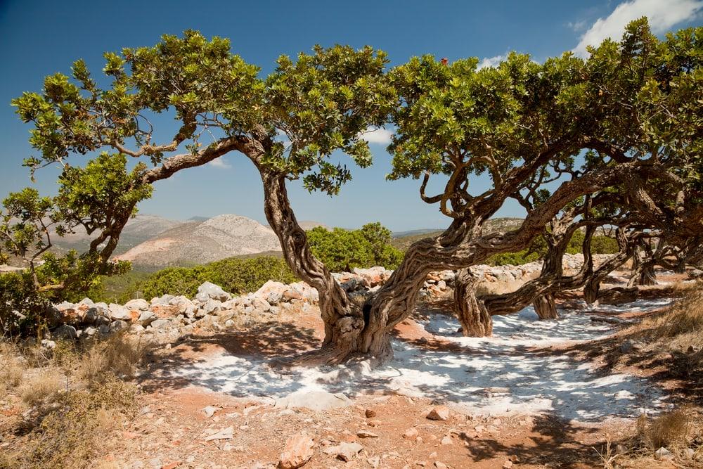 Mastika-Baum auf Chios