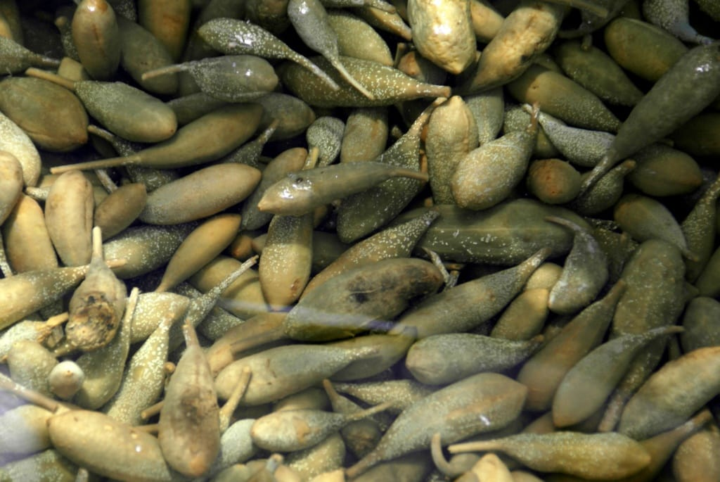Kapern-Ernte auf Salina