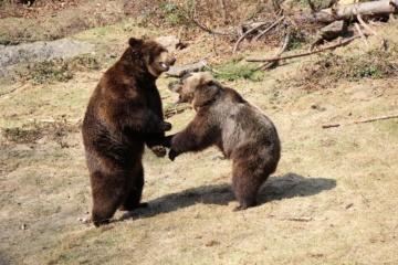 Tiere im Nationalpark Bayerischer Wald: spielende Bären