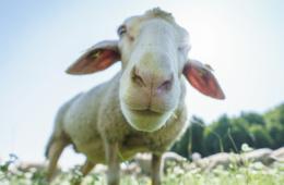 Schäfer auf der Schwäbischen Alb: Blick eines Albschafs in die Kamera
