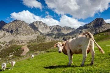 Kuh auf Wiese, im Hintergrund Berge, Andorra