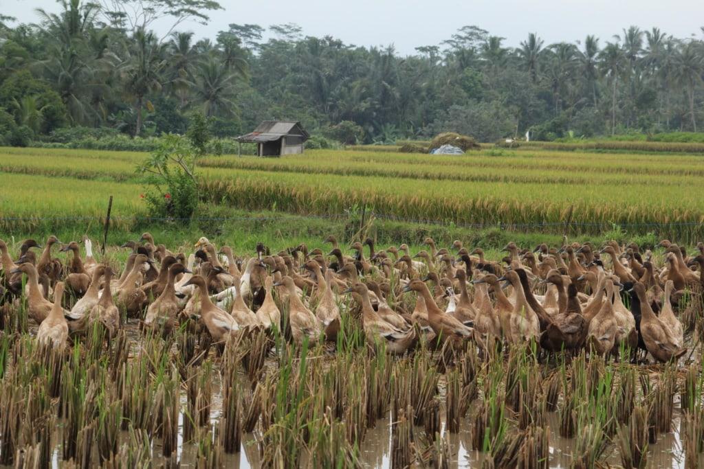 Gänse im Reisfeld auf Bali