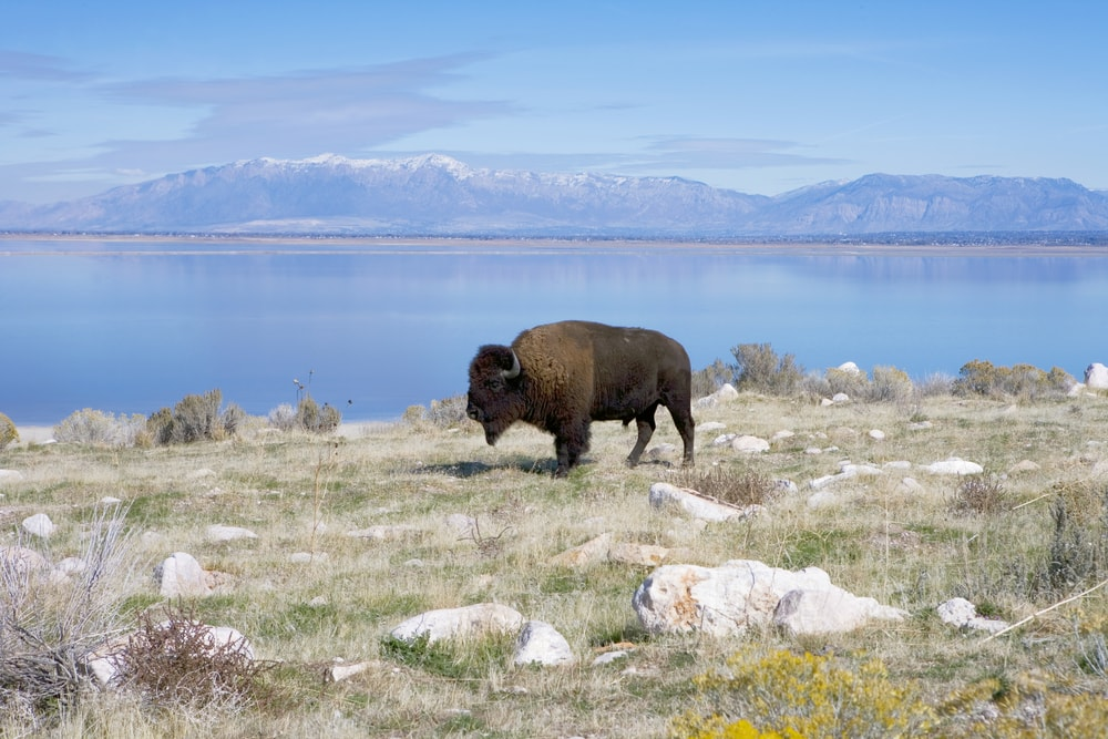 Wandern in Utah: Begegnung mit einem Buffalo