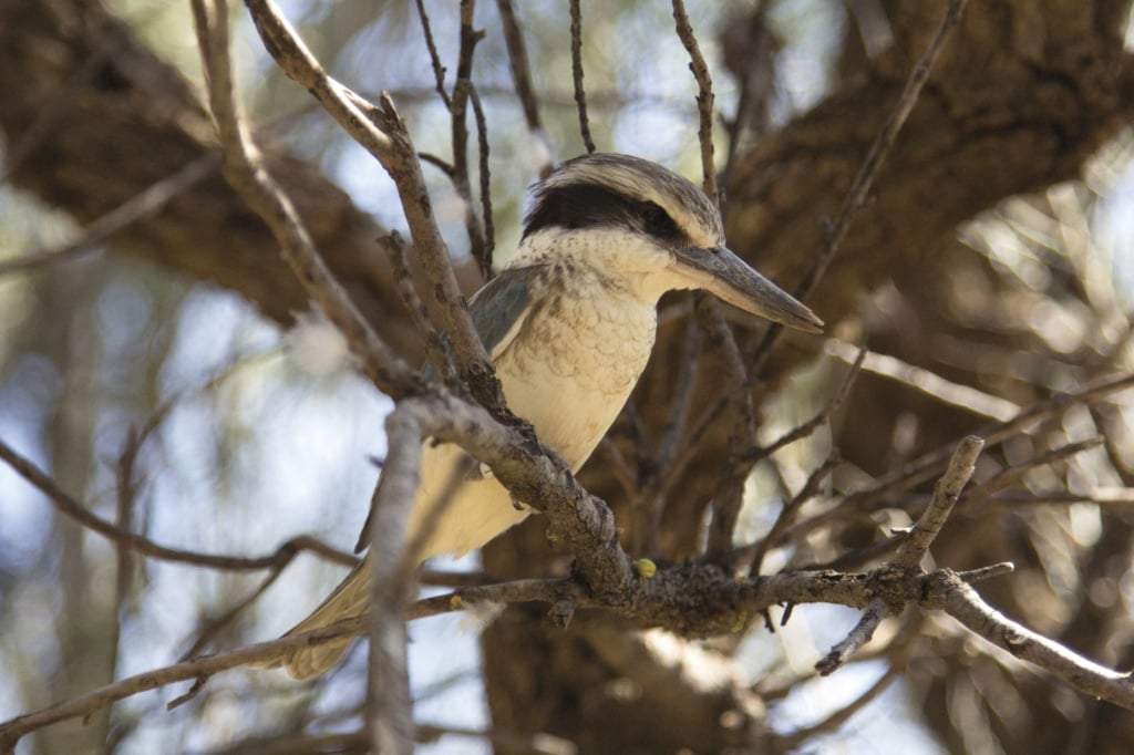Kookaburra im Alice Springs Desert Park