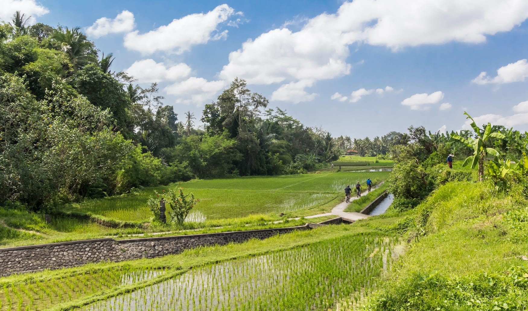 Gruppe von Fahrradfahrern fährt durch Reisfeld in Bali