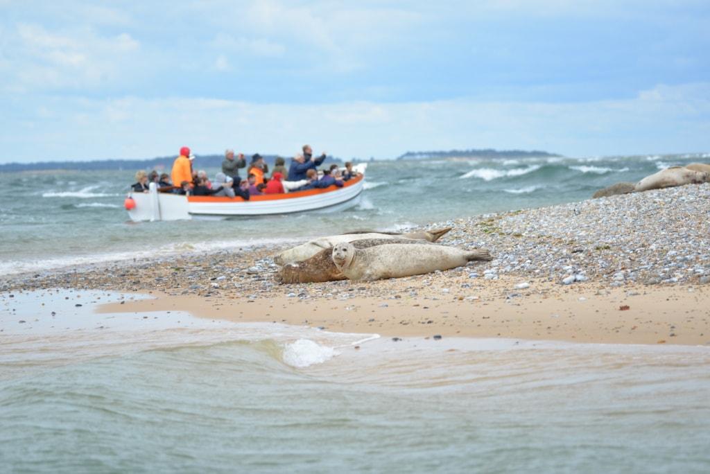 Seehunde und Kegelrobben auf einer Sandbank in Norfolk