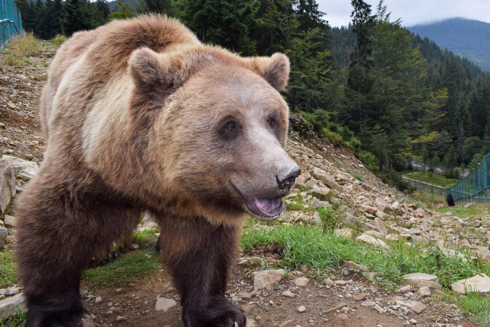 Braunbär in Rumänien