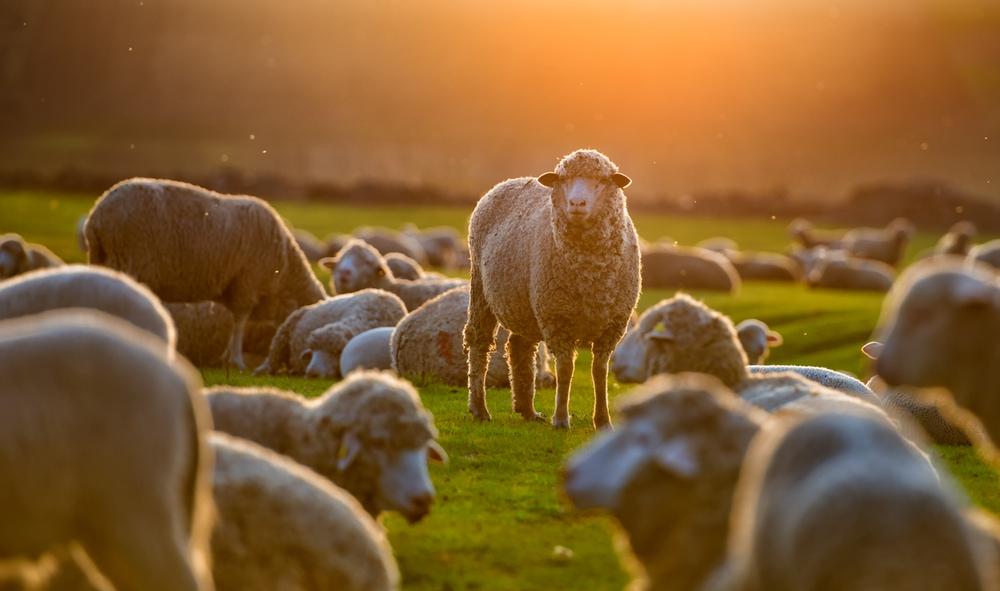 Schafsherde auf einer Wiese