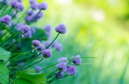 blaue Blumenblüten