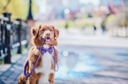 Novia Scotia Duck Tolling Retriever