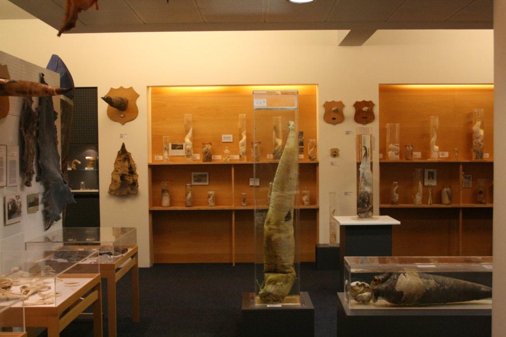 Ein Exemplar der verrückten Mussen: Im Phallus-Museum in Island werden Tierpenisse aller Säugetiere des Landes ausgestellt.