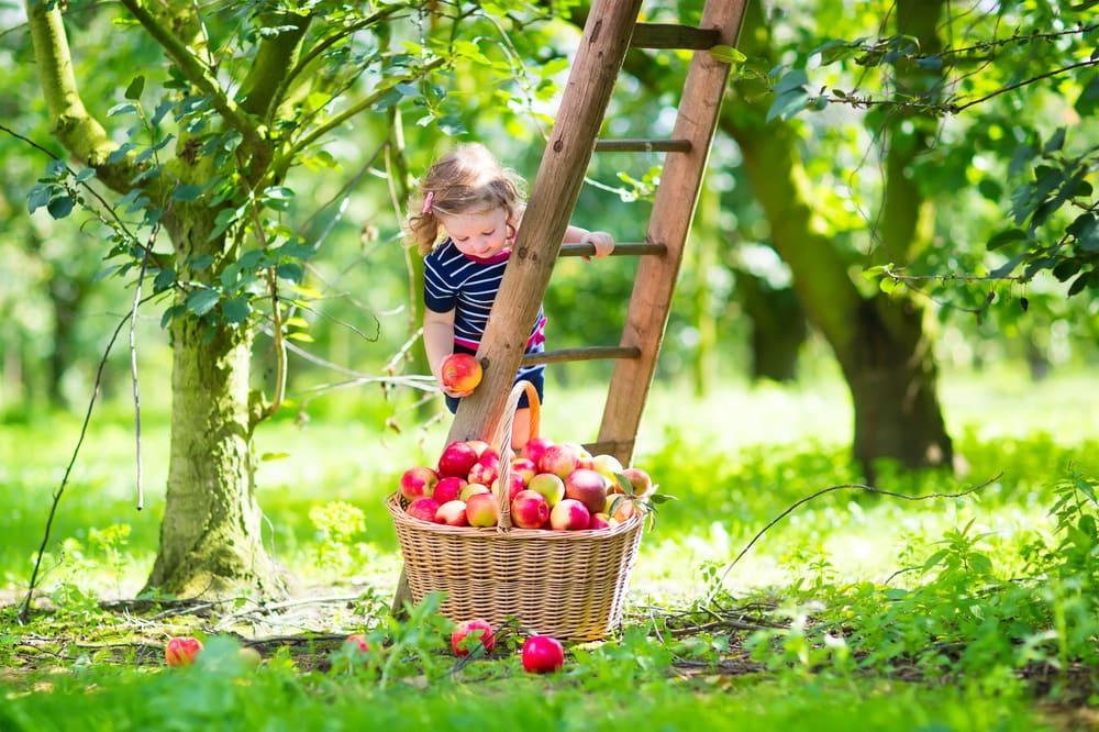Kind bei der Apfel-Ernte