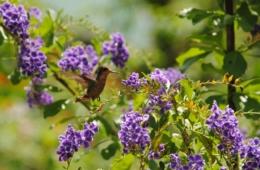 Kolibri in Trinidad