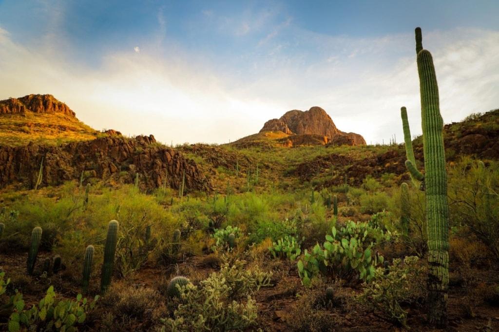 Kakteen in der Region um die Stadt Tucson in Arizona