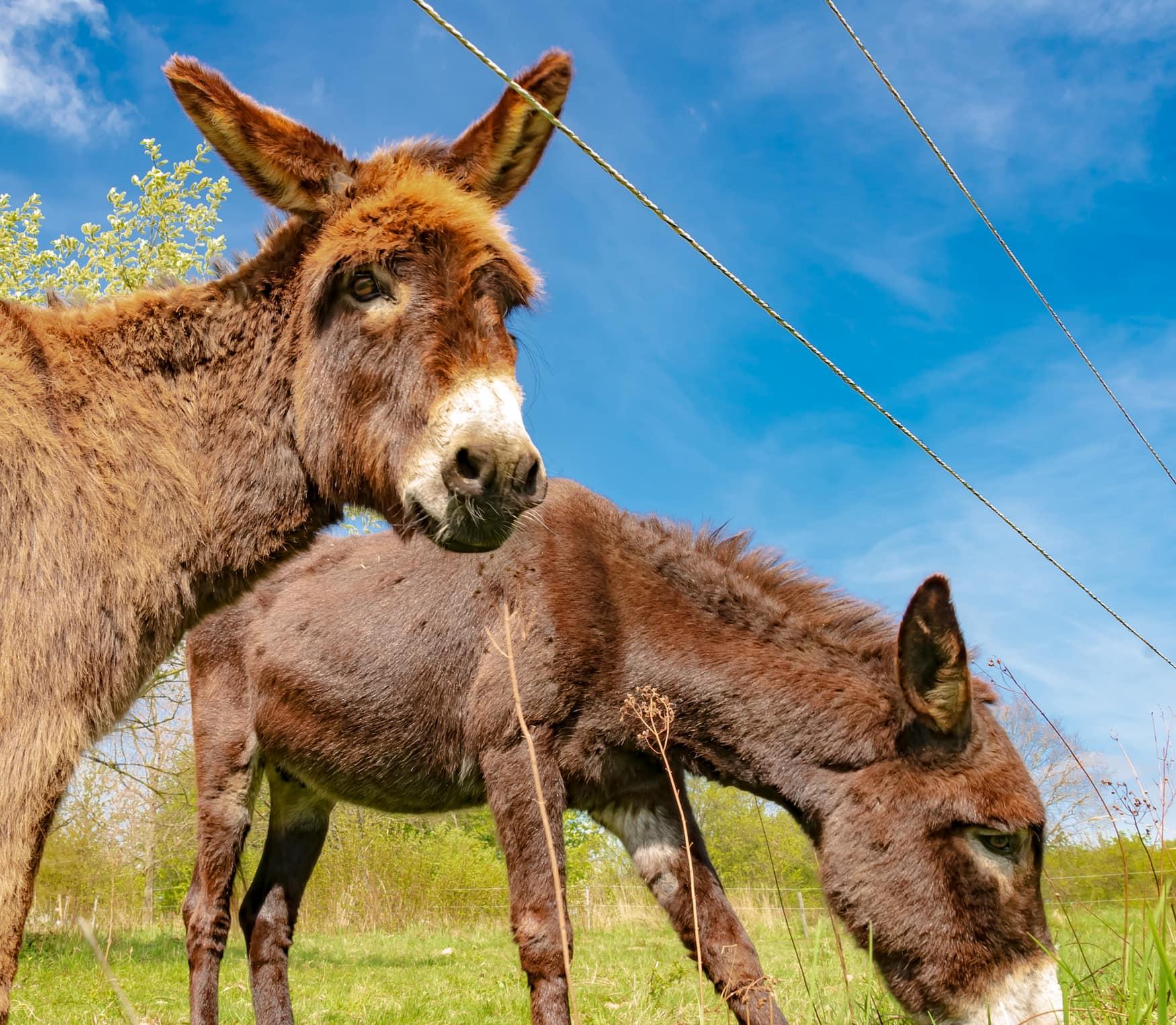 Zwei Esel stehen auf einer Weide in Deutschland