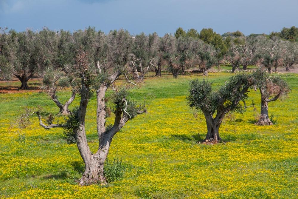 Mit dem Xylella Fastidiosa Virus befallene Olivenbäume in Süditalien