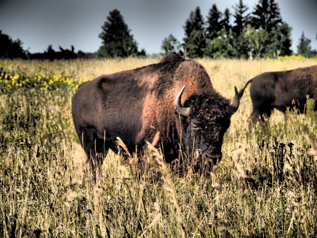 Im Riding Mountain Nationalpark ist eine Bisonherde beheimatet.