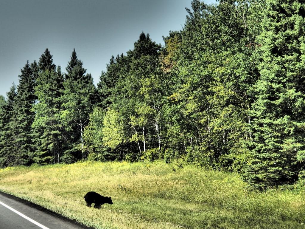Flix huschte das Bärenbaby ins Dickicht des Waldes im Riding Mountain Nationalpark..