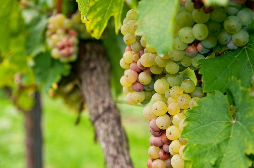 Weintrauben in Hessen