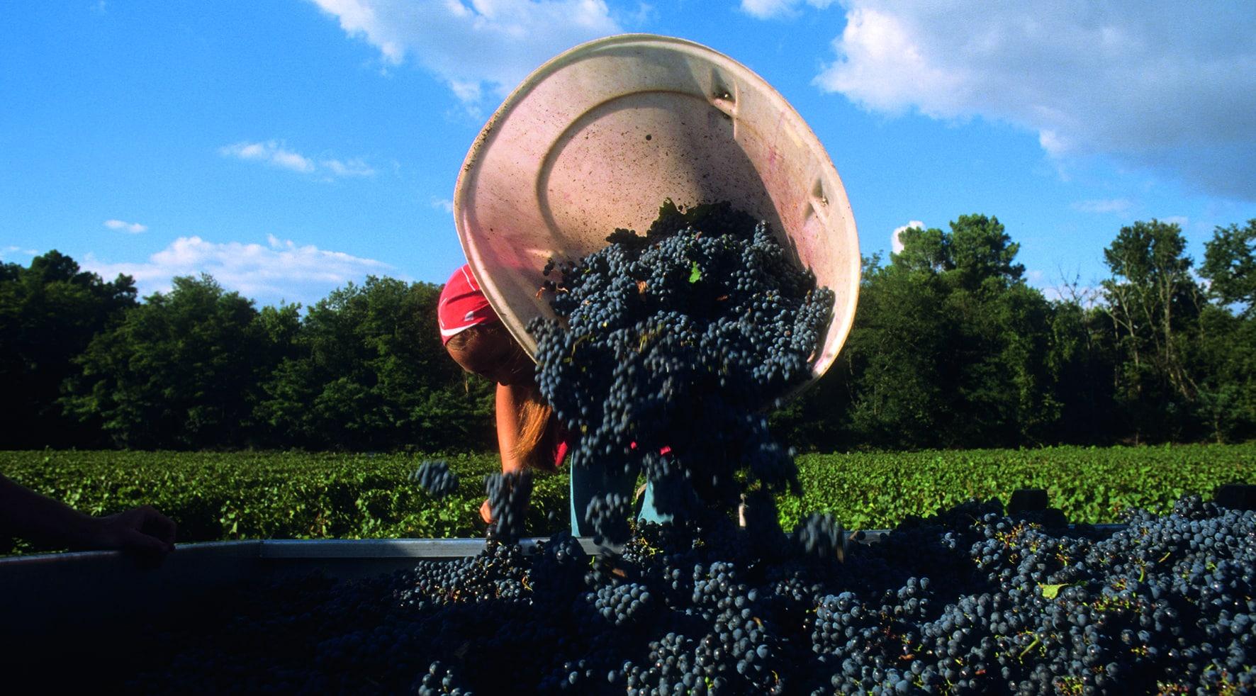 Viele dunkle Trauben in Kanister zur Herstellung von Wein.