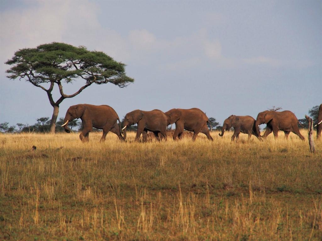 Eine Elefantenfamilie steuert auf eine Wasserloch in der Serengeti zu.