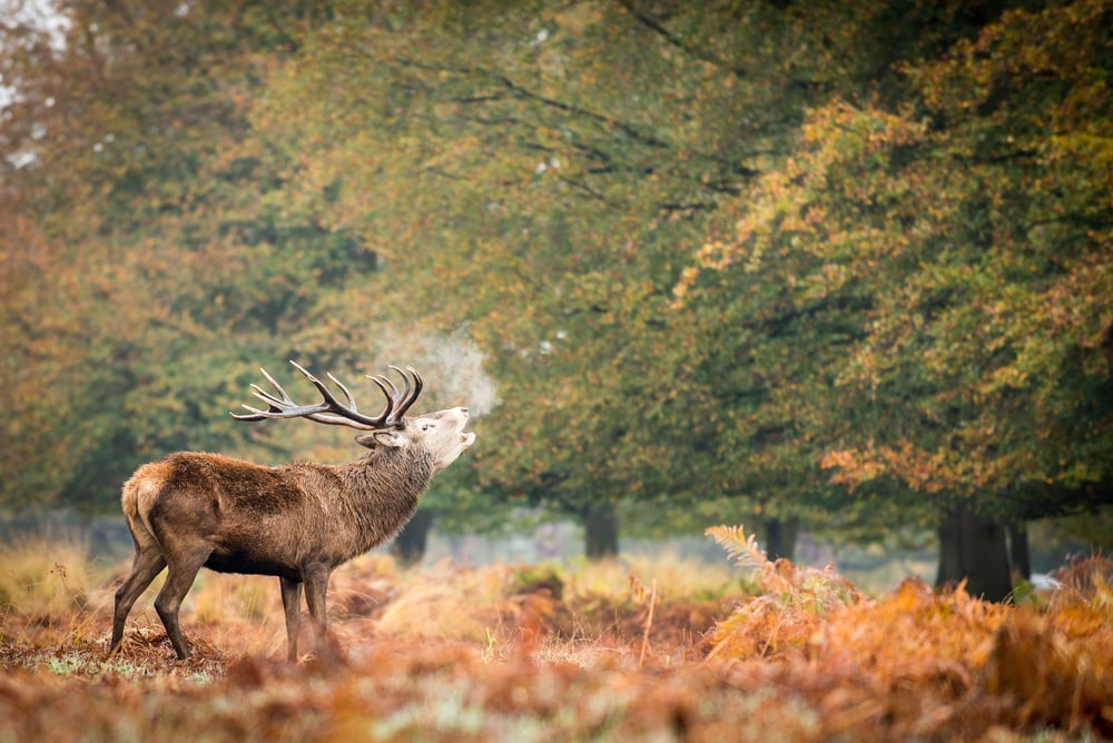 Hirsch im Richmond Park