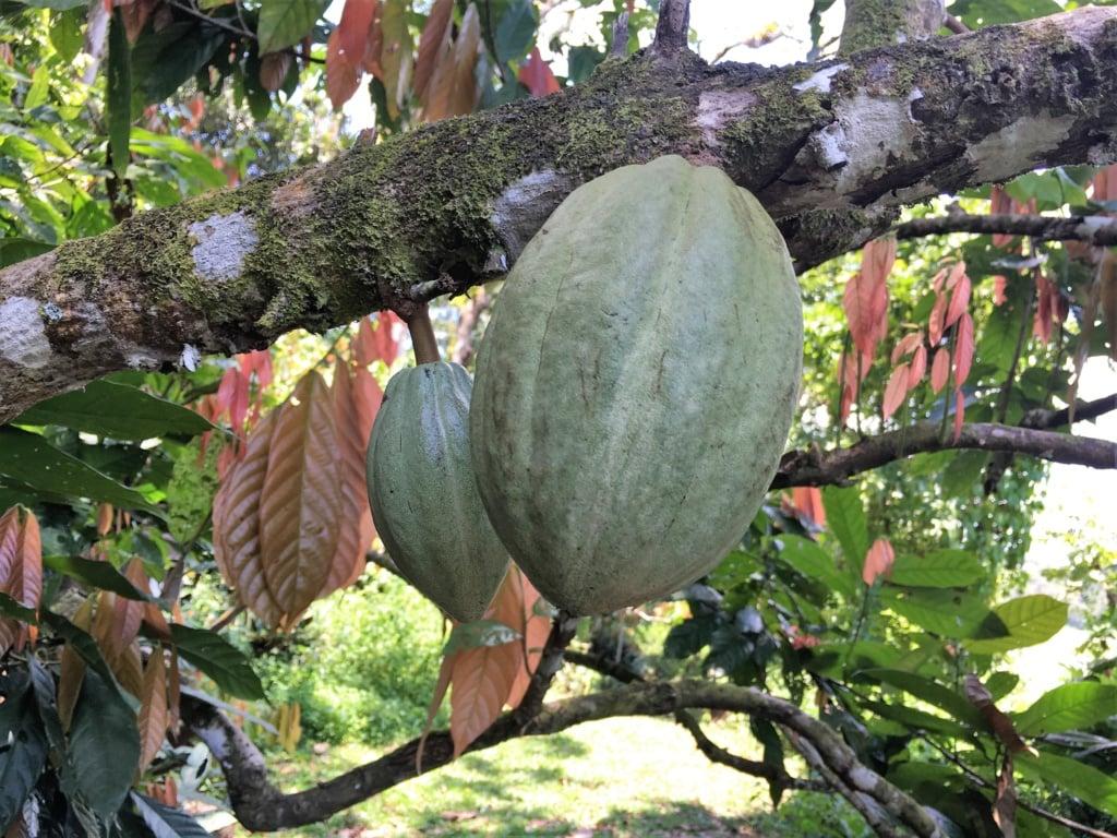 Kakaofrucht hängt am Baum